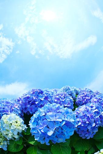 あじさい「Sun Shining Over Hydrangea Flowers」:スマホ壁紙(3)