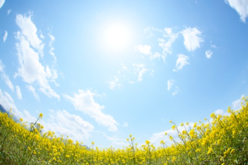 Wide Angle「Sun shining in the sky above a field of oilseed rape blossoms. Iiyama, Nagano Prefecture, Japan」:スマホ壁紙(18)