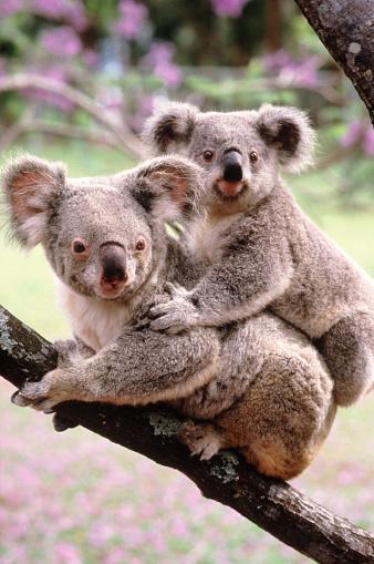 Queensland「Koalas - Australia」:スマホ壁紙(12)