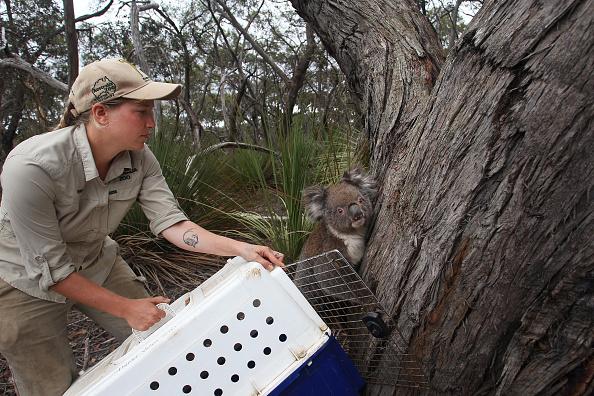 Releasing「Kangaroo Island Begins Recovery Process Following Devastating Bushfire Season」:写真・画像(8)[壁紙.com]