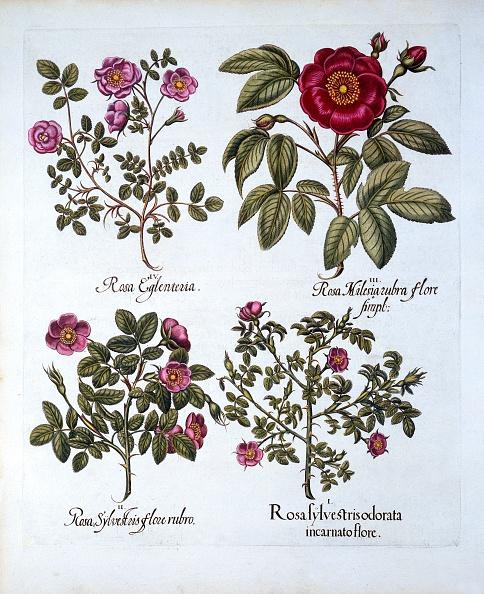 Basil「Four Variets Of Dog Rose」:写真・画像(7)[壁紙.com]