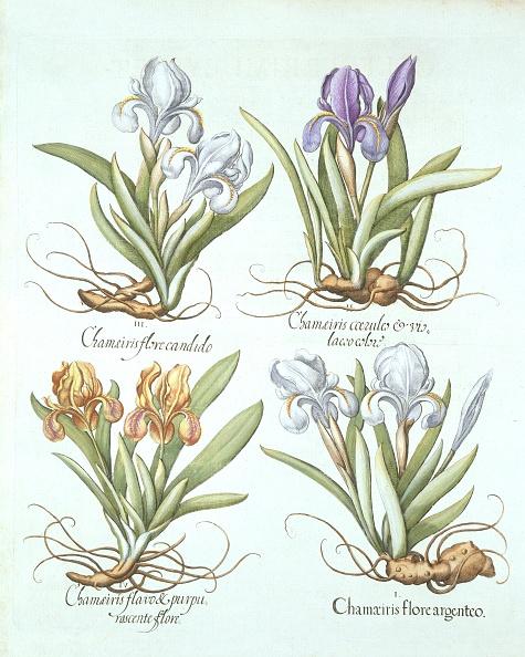 Basil「Four Varieties Of Rhizomatous Irises」:写真・画像(15)[壁紙.com]