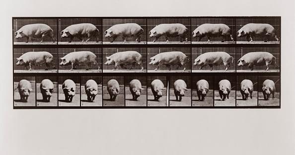 飼育動物「Pig Walking」:写真・画像(5)[壁紙.com]