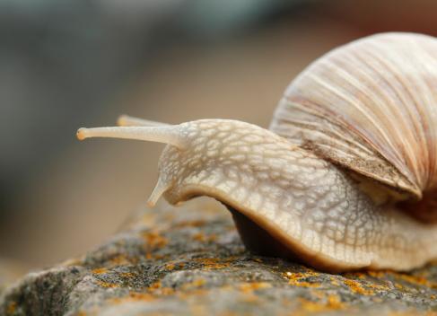 カタツムリ「Edible snails on a stone」:スマホ壁紙(19)