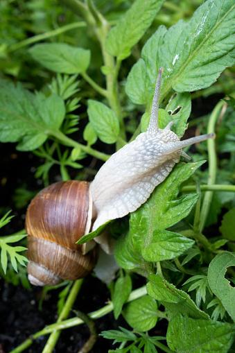 カタツムリ「Edible snail, Helix pomatia」:スマホ壁紙(13)