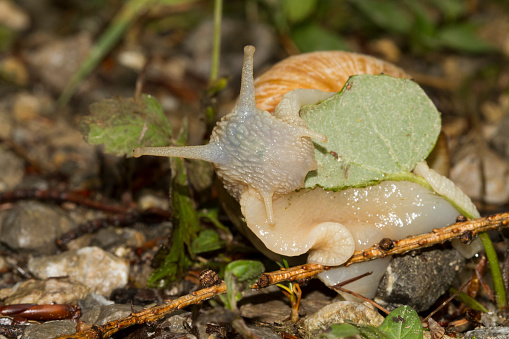 snails「Edible snail, Helix pomatia」:スマホ壁紙(16)