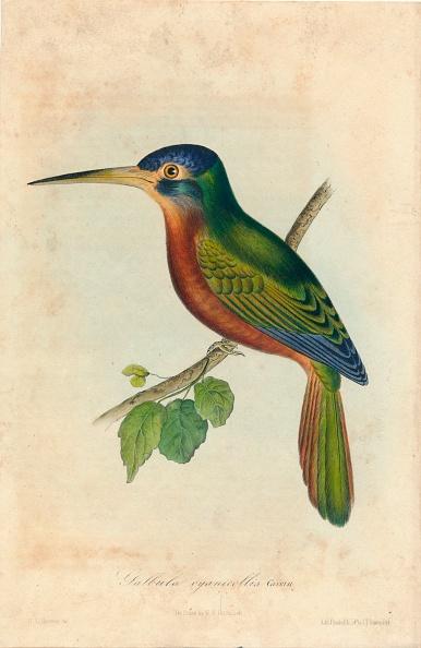 Beak「Galbula Cyanicollis Cassin」:写真・画像(19)[壁紙.com]