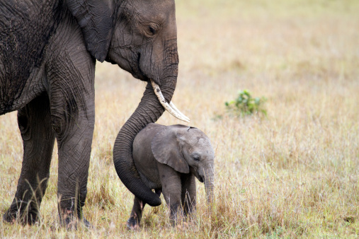 Safari Animals「Elephant with baby, Masai Mara, Kenya」:スマホ壁紙(7)