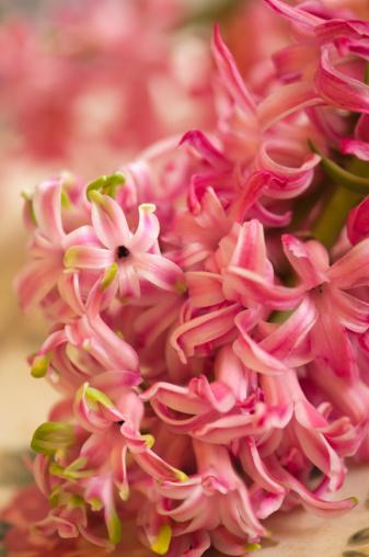 Hyacinth「Hyacinth in Bloom」:スマホ壁紙(9)