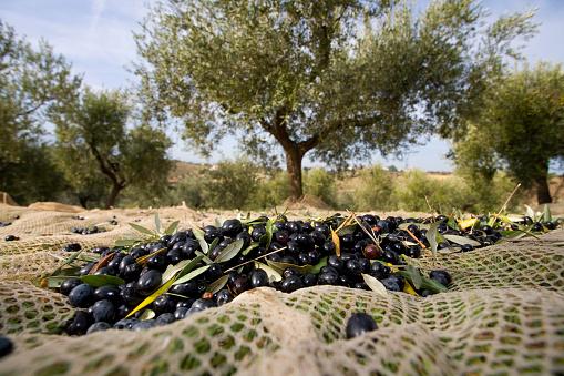 Low Section「Raccolta delle olive」:スマホ壁紙(18)