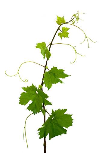 Grape「Grape leaves」:スマホ壁紙(11)