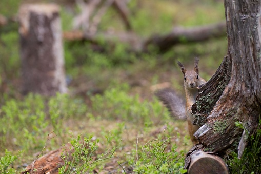Boreal Forest「Squirrel hiding behind a tree in a boreal forest」:スマホ壁紙(8)