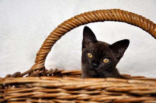 ビルマネコ「Burmese Cat, Zimbabwe」:スマホ壁紙(2)