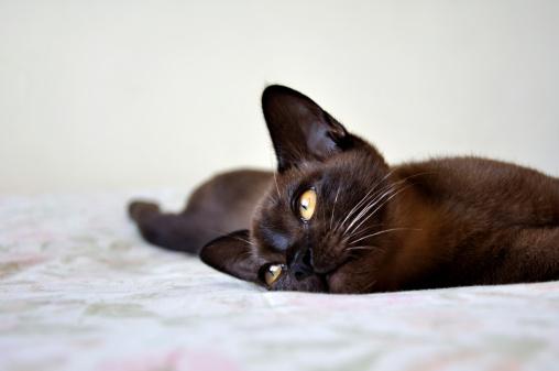 ビルマネコ「Burmese Cat, Zimbabwe」:スマホ壁紙(19)