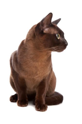 ビルマネコ「Burmese cat」:スマホ壁紙(19)