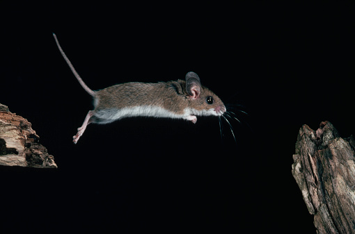 Pennsylvania「White-Footed Mouse Jumping From Branch to Branch」:スマホ壁紙(2)