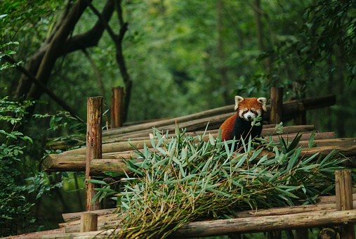 Sichuan Province「Red panda walks in the green leafs」:スマホ壁紙(3)