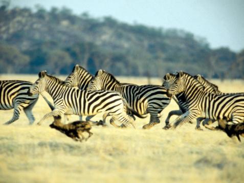 Animals Hunting「Wild dogs chasing zebras on savanna , Africa」:スマホ壁紙(11)
