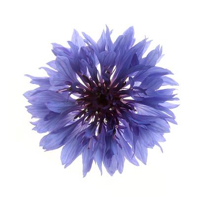 In The Center「Detail of blue cornflower from above on white.」:スマホ壁紙(14)