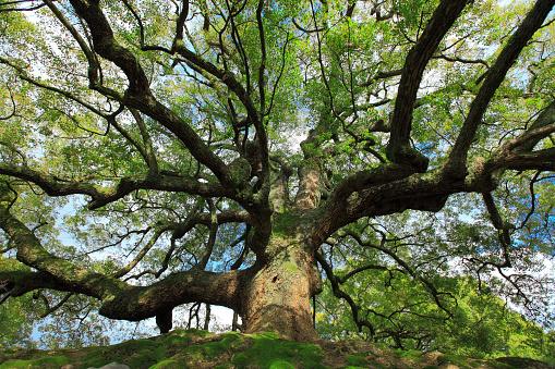 Low Angle View「Camphor tree」:スマホ壁紙(11)