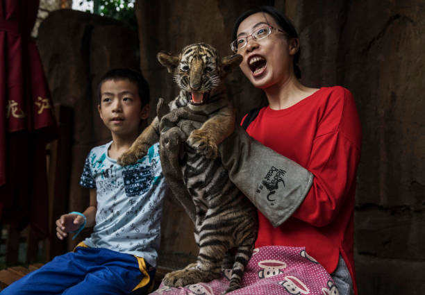 China's Siberian Tiger Farm:ニュース(壁紙.com)