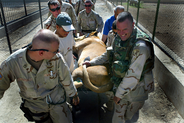 Baghdad「Uday Hussein's Lions Moved To Baghdad Zoo」:写真・画像(8)[壁紙.com]