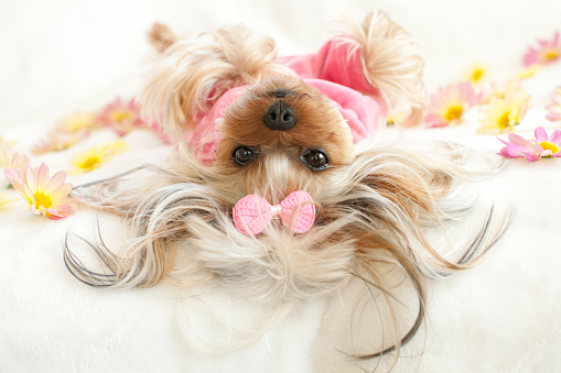 Pet Clothing「Yorkie wearing pajamas lying down on her back looking at camera」:スマホ壁紙(7)