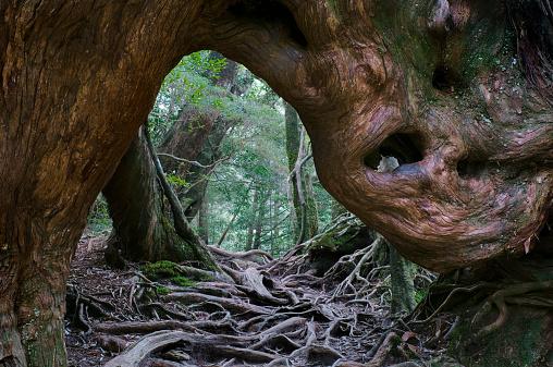 Karin「Kugurisugi cedar tree, view through roots」:スマホ壁紙(8)