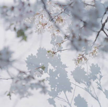 Focus on Shadow「Shadow of cherry blossoms on wall with cherry blossom in foreground」:スマホ壁紙(7)