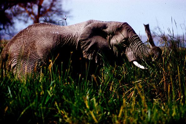 野生動物「Elephant In Tanzania」:写真・画像(13)[壁紙.com]