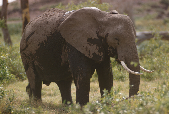 野生動物「Elephant In Tanzania」:写真・画像(7)[壁紙.com]
