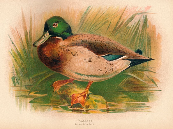 Animal Wildlife「'Mallard (Anas boschas)', 1900, (1900)」:写真・画像(17)[壁紙.com]