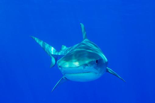 North Atlantic Ocean「Tiger Shark」:スマホ壁紙(4)