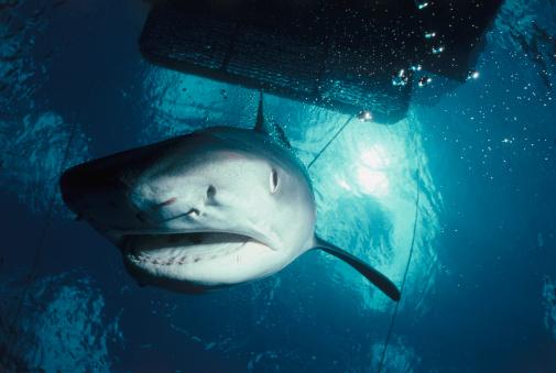 Animals Hunting「Tiger Shark」:スマホ壁紙(4)