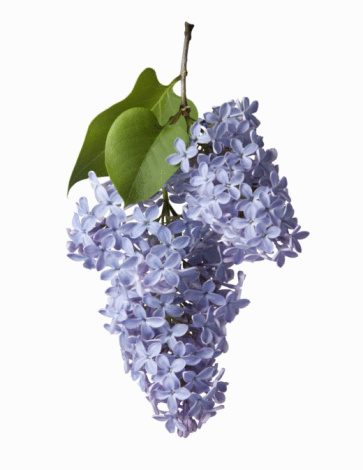 Flower Head「Lilac botanical」:スマホ壁紙(1)