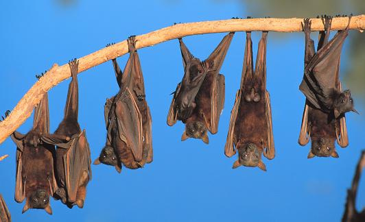 Bat - Animal「Little red flying fox colony hanging from tree limb」:スマホ壁紙(19)