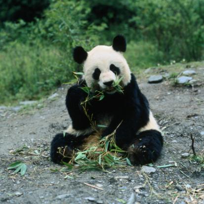 Eating「Outdoor portrait of giant panda eating bamboo」:スマホ壁紙(17)
