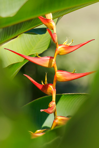 flower「Bird of Paradise (Strelitzia) plant just beginning to flower」:スマホ壁紙(6)