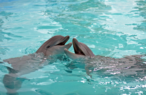 Bottle-nosed Dolphin「Dolphins Kiss」:スマホ壁紙(17)
