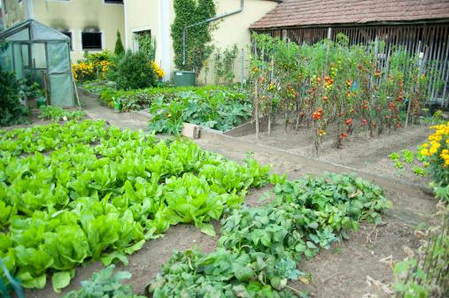 France「salads field in garden - Salat selber anbauen」:スマホ壁紙(3)