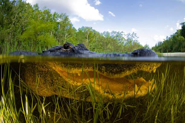 Split level view of an American Alligator, Florida Everglades.:スマホ壁紙(壁紙.com)