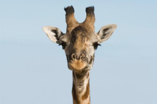 Giraffe「Giraffe (Giraffa camelopardalis), close-up of head」:スマホ壁紙(8)