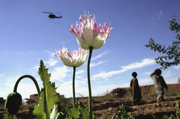 Taliban「Afghan and US Teams Fight Opium Trade In Helmand Province Of Southern Afghanistan」:写真・画像(14)[壁紙.com]