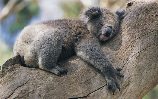 Koala「Koala Hugging a Tree」:スマホ壁紙(4)