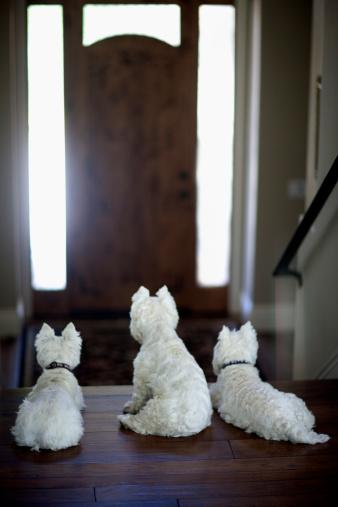 Encinitas「Three West Highland terrier dogs wait by the door.」:スマホ壁紙(7)