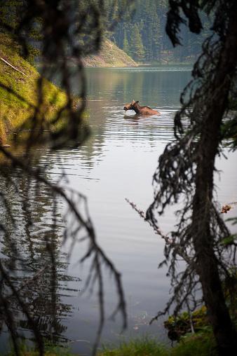 野生動物「湖で泳いでムース」:スマホ壁紙(0)