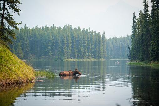 野生動物「湖で泳いでムース」:スマホ壁紙(1)
