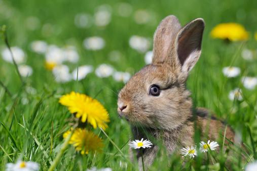 Easter Bunny「Rabbit on spring meadow」:スマホ壁紙(14)