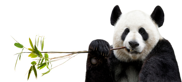 Branch - Plant Part「Panda eating bamboo」:スマホ壁紙(10)