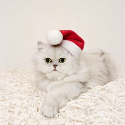 Purebred Cat「Persian cat wearing Santa hat」:スマホ壁紙(0)